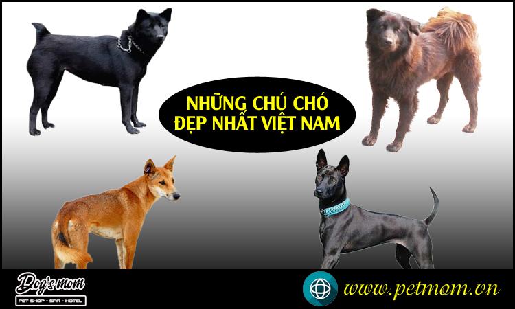 Các giống Chó đẹp nhất Việt Nam