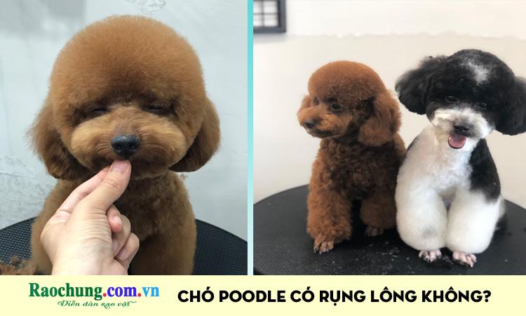 Chó Poodle có rụng lông không?