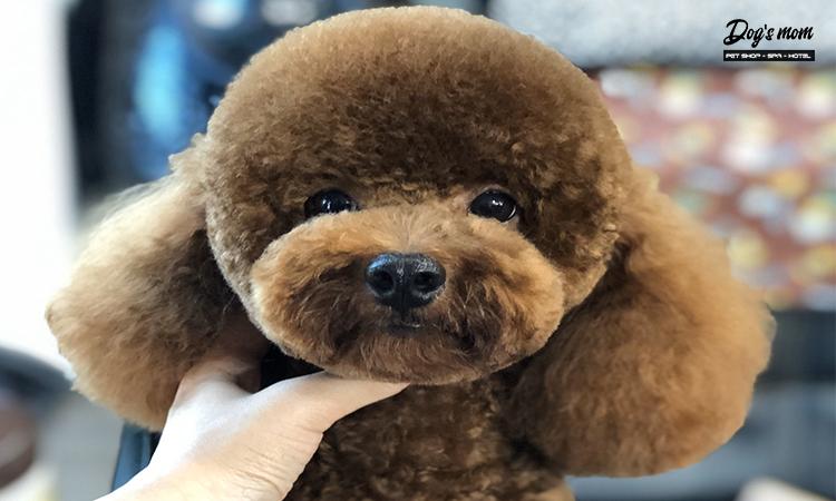 Cách chăm sóc lông chó poodle