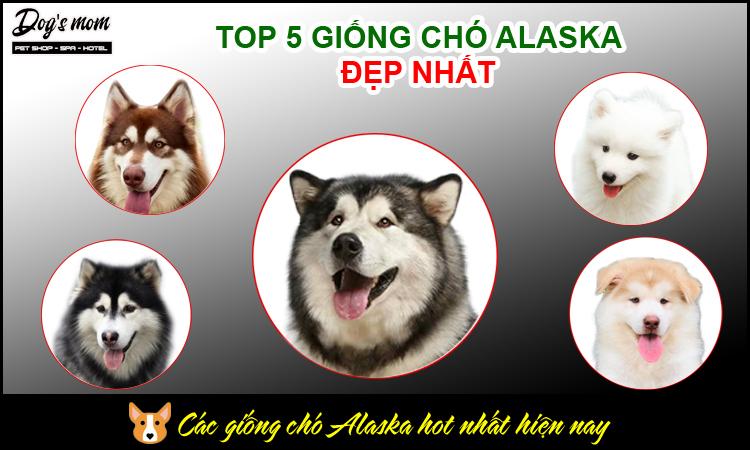 Các giống chó Alaska có màu lông đẹp nhất